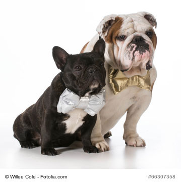 66307358 - english and french bulldogs - © Willee Cole